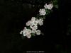 Espinera en flor