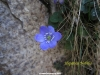 Hepatica nobilis en La Huesera